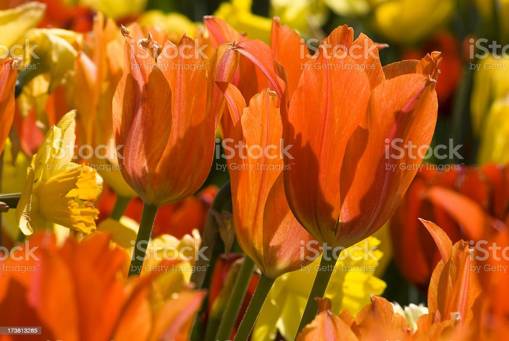 Sunbathed Tulips stock photo