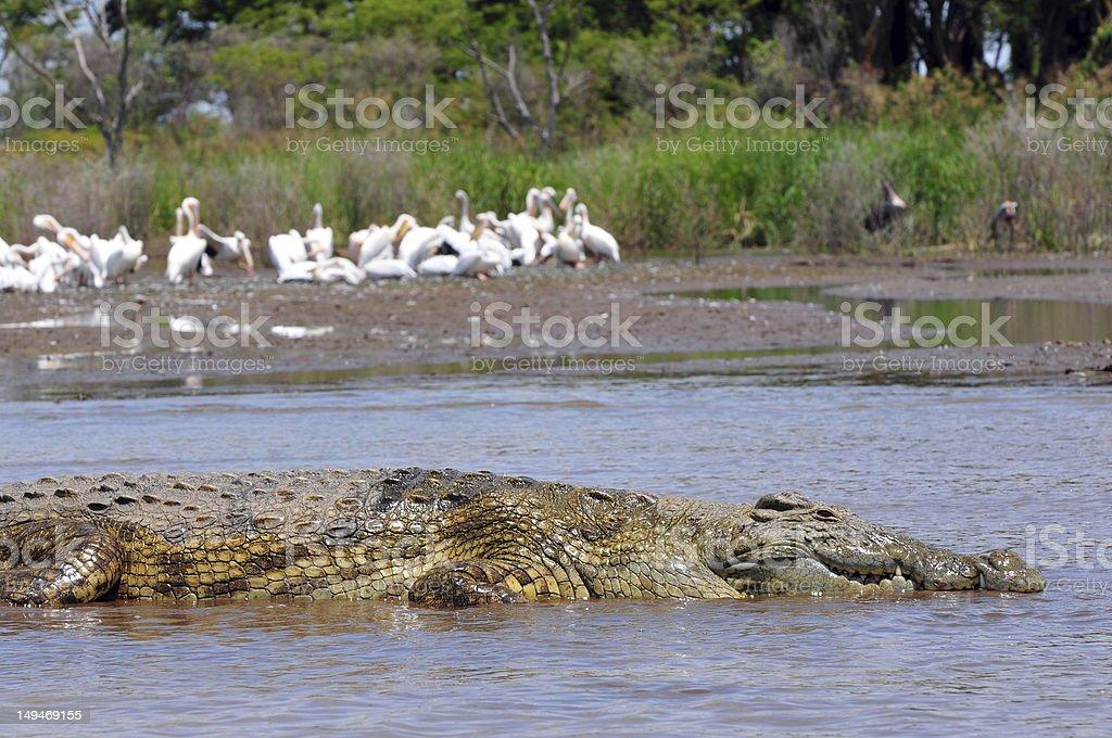 Sunbathing crocodile on Lake Chamo, Ethiopia stock photo
