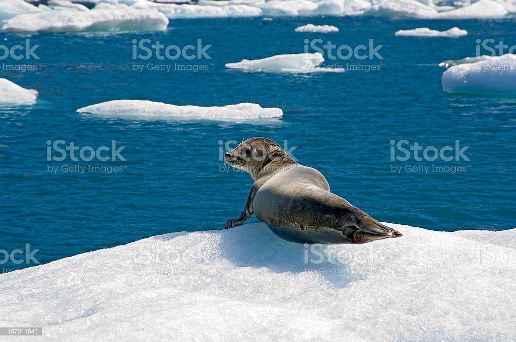 Sunbathing seal in Iceland stock photo