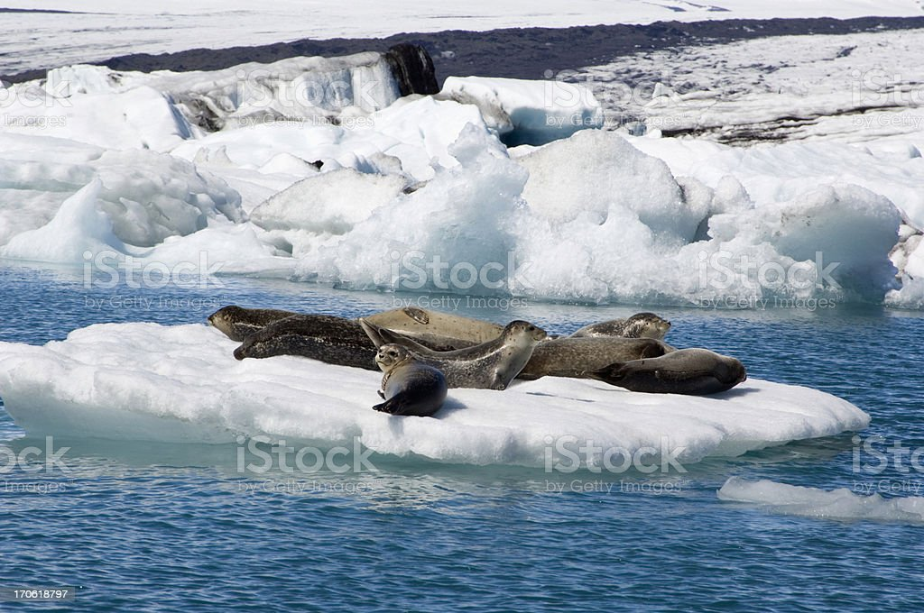 Sunbathing seals in Iceland stock photo