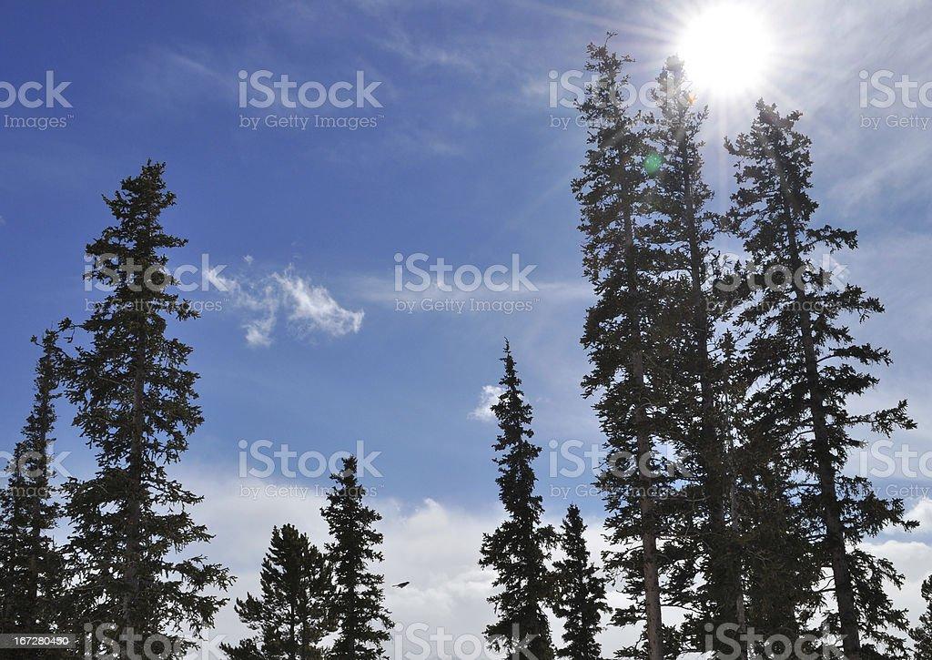 Sunbeam Against Lodgepole Pine Tree Forest stock photo