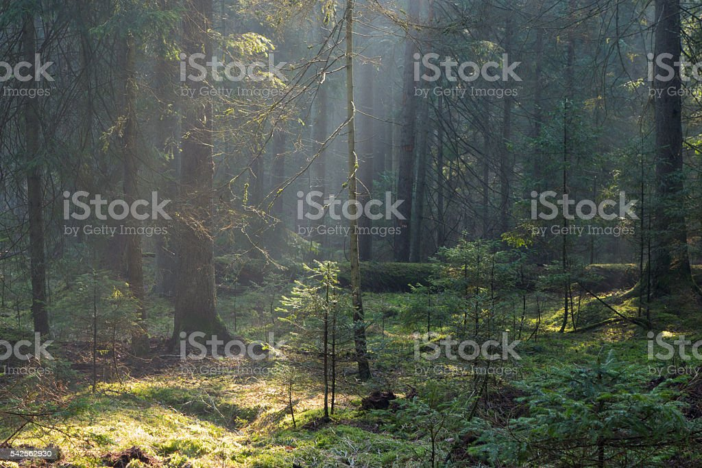 Sunbeam entering old coniferous stand of Bialowieza Forest stock photo