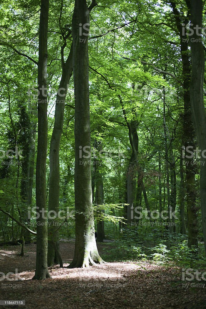 Sunbeam Forrest royalty-free stock photo