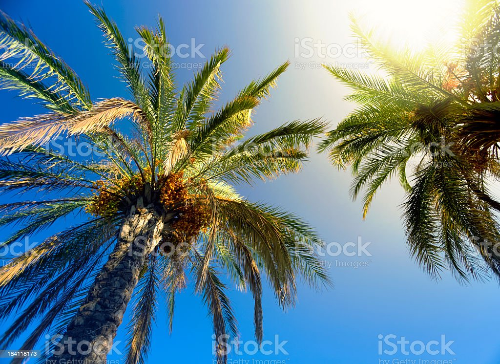 Sunbeam glaring through the palm trees royalty-free stock photo