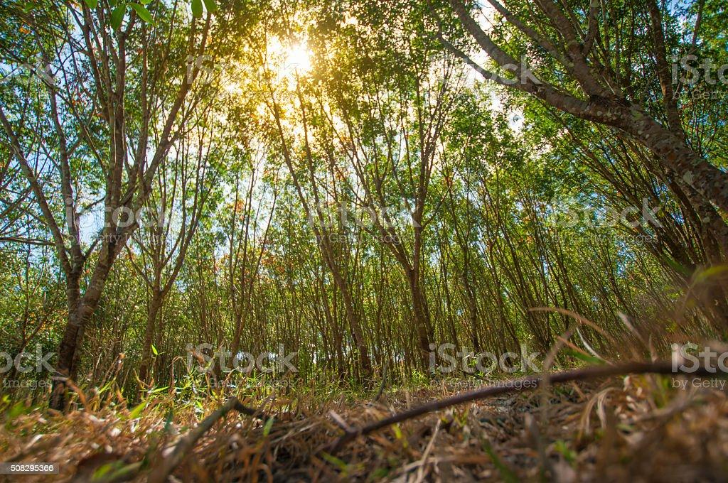 Sunbeam shine through the rubber tree plantation stock photo
