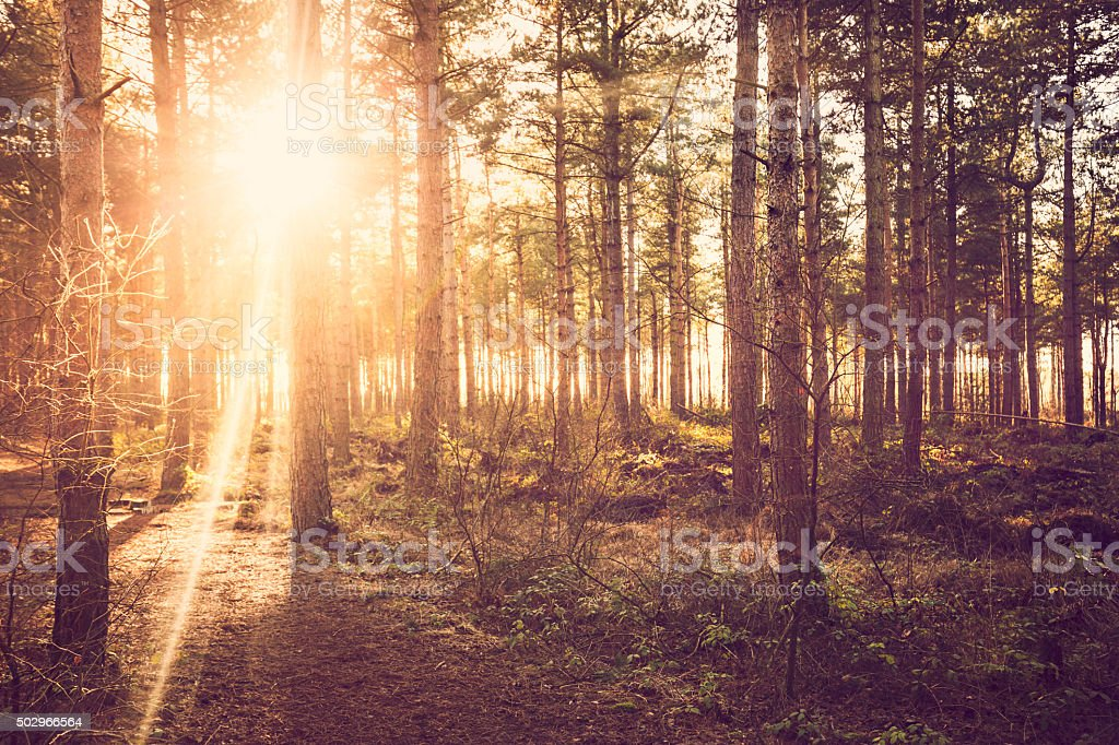 sunbeam through the forest trees stock photo