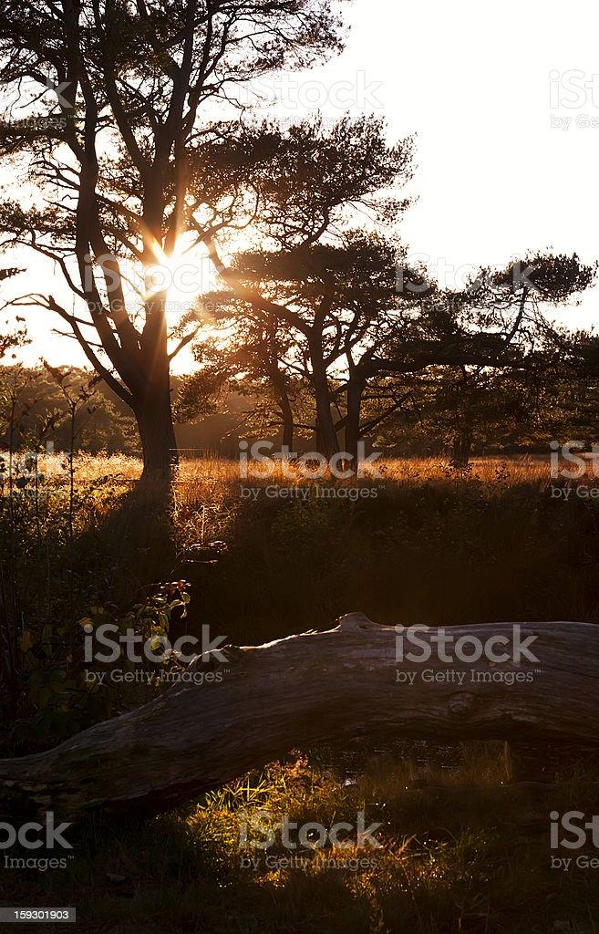 sunbeams behind tree at sunset royalty-free stock photo