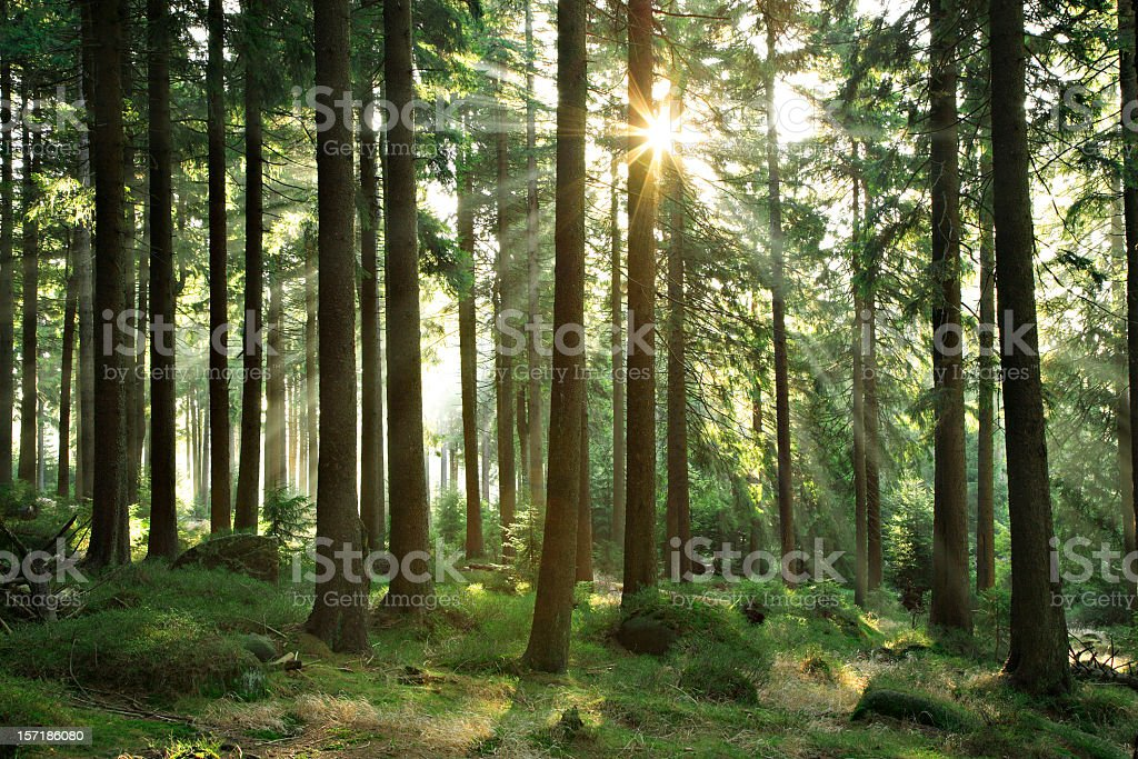 Sunbeams breaking through Natural Spruce Tree Forest at Sunrise stock photo