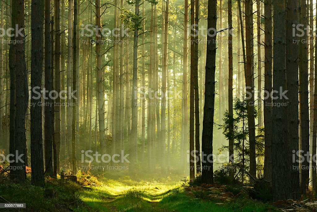 Sunbeams breaking through Pine Tree Forest at Sunrise stock photo