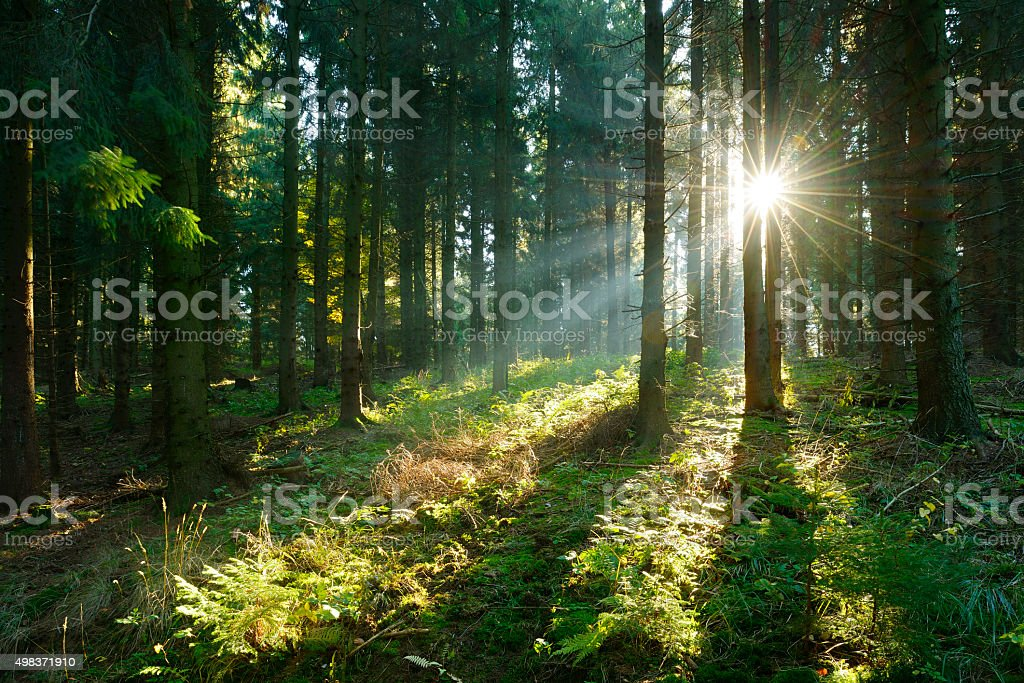 Sunbeams breaking through Spruce Tree Forest at Sunrise stock photo