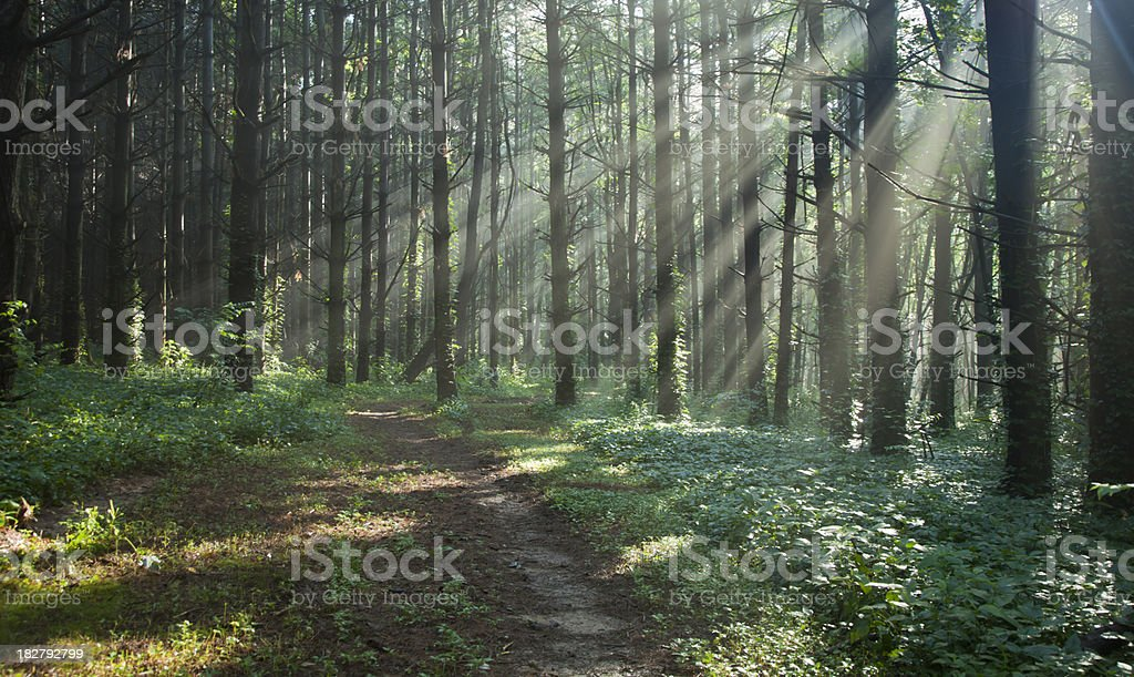 Sunbeams Filtering Through Trees on a Misty Forest Trail royalty-free stock photo