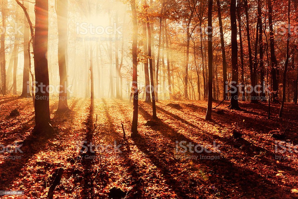 Sunbeams in Beech Tree Forest, filtered, nostalgic color and grain stock photo