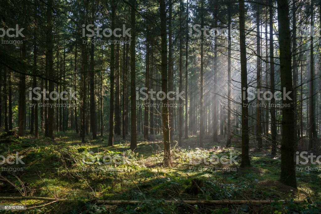 Sunbeams in dark and foggy autumn forest stock photo