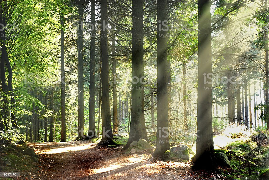 Sunbeams in forest royalty-free stock photo