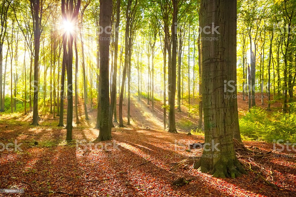 Sunbeams in natural Beech Forest stock photo