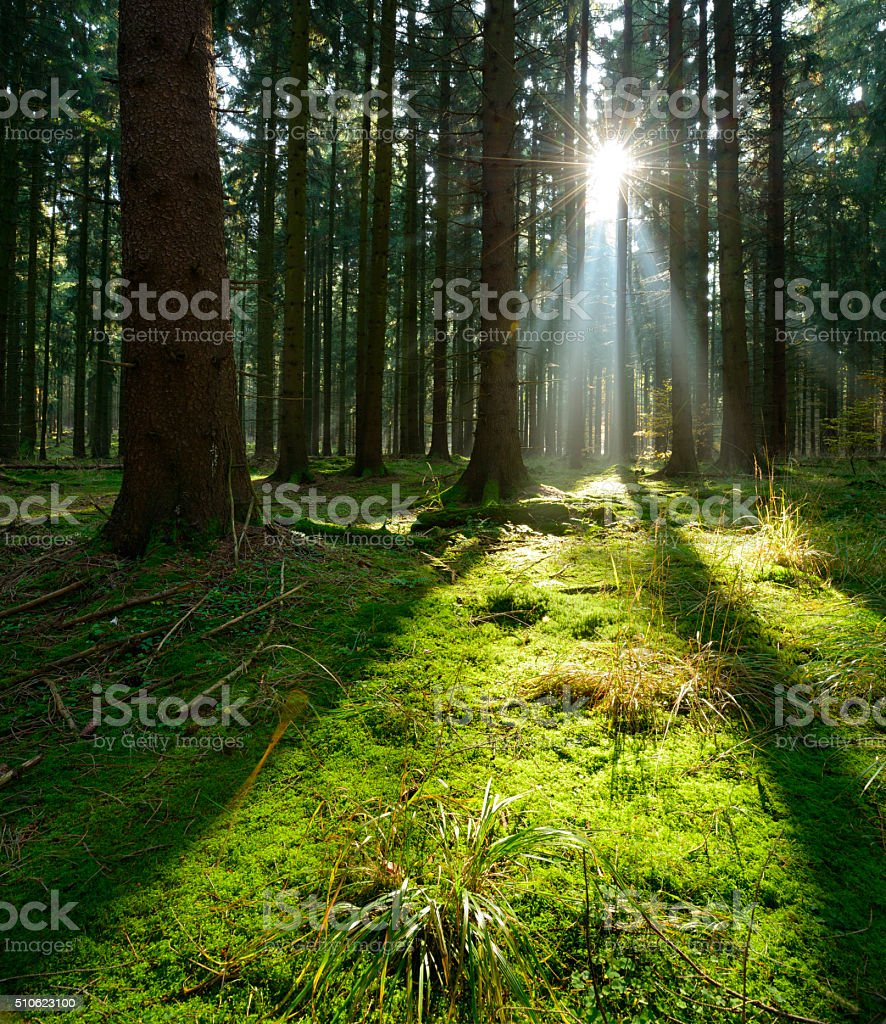 Sunbeams in Natural Spruce Tree Woodland, Moss Covered Forest Floor stock photo