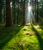 Sunbeams in Natural Spruce Tree Woodland, Moss Covered Forest Floor