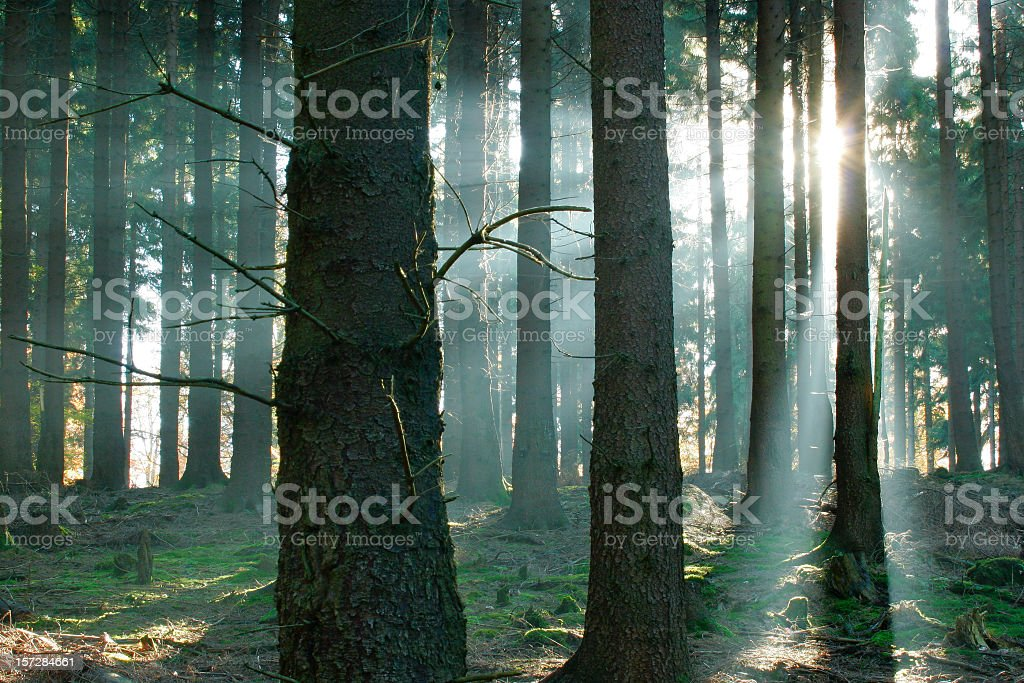 Sunbeams in the Forest royalty-free stock photo