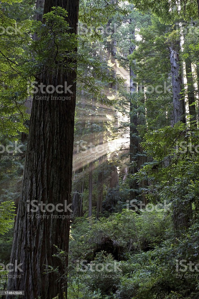 Sunbeams in the Redwoods stock photo