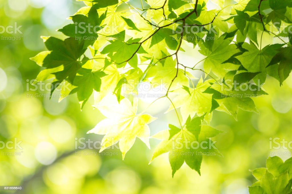 Sunbeams leaves stock photo