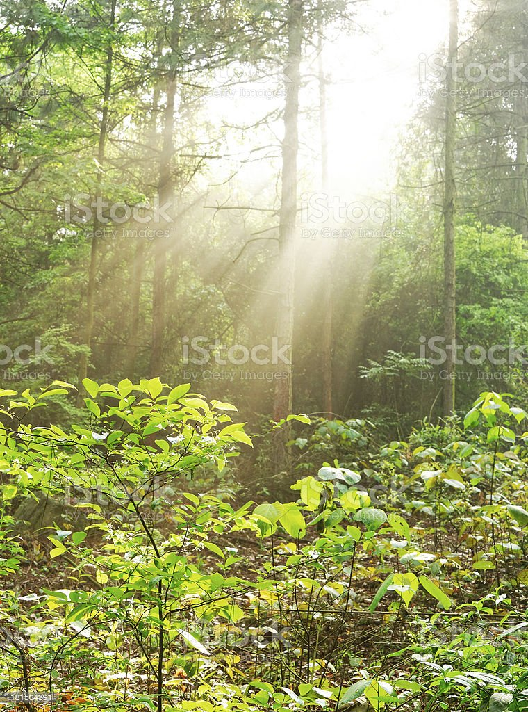 Sunbeams pour through trees in forest royalty-free stock photo
