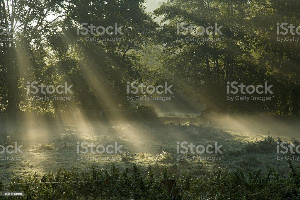 Sunbeams Shining Through Trees in Fog royalty-free stock photo