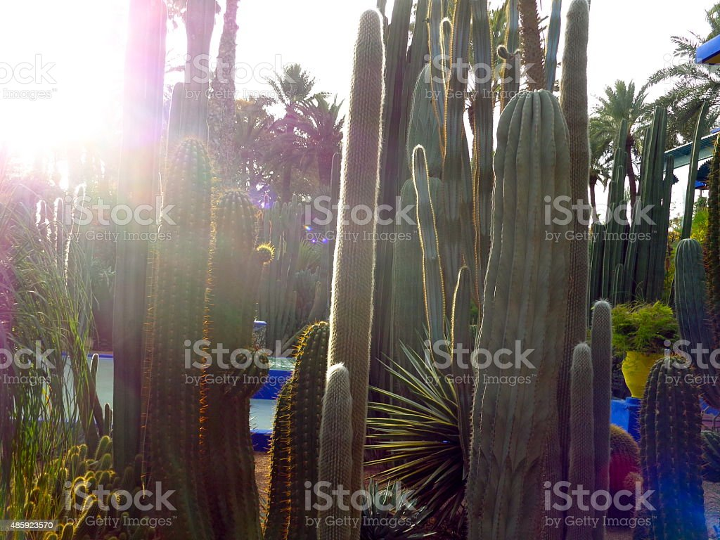 Sunbeams through cactuses stock photo