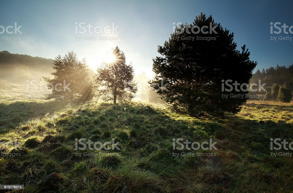 sunbeams through pine trees on misty hills stock photo