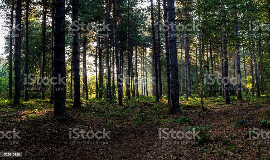 Sunbeams through trees stock photo