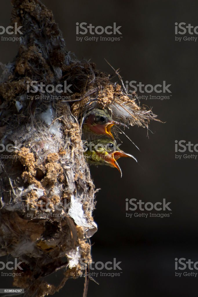 Sunbird Babies royalty-free stock photo