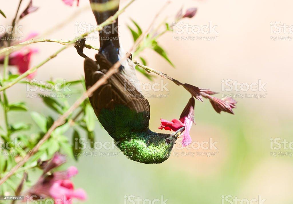 sunbird feeding at flower royalty-free stock photo