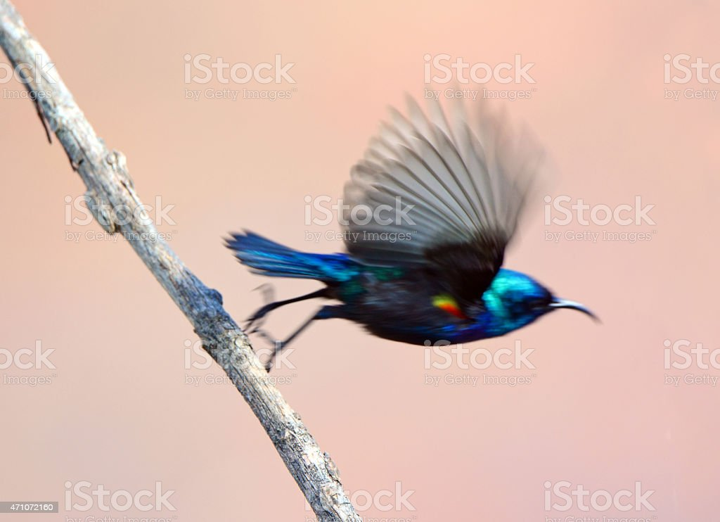 Sunbird, Male take off In blurred motion stock photo