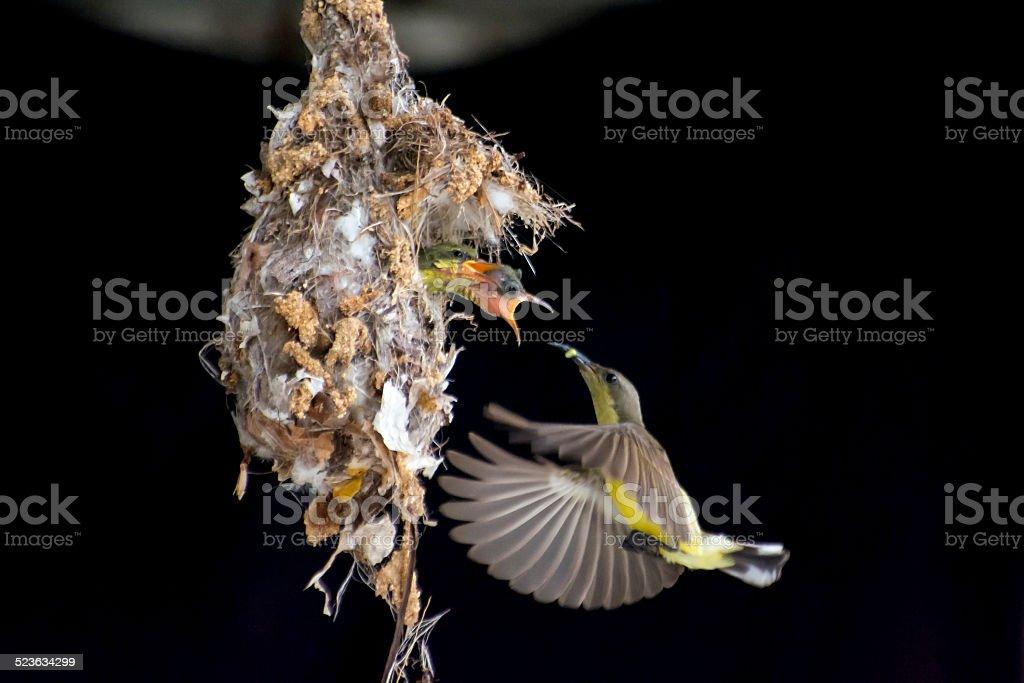 Sunbird royalty-free stock photo