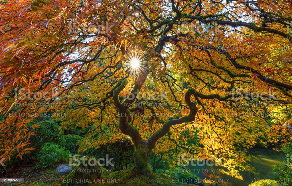 Sunbursat through the Maple Tree stock photo