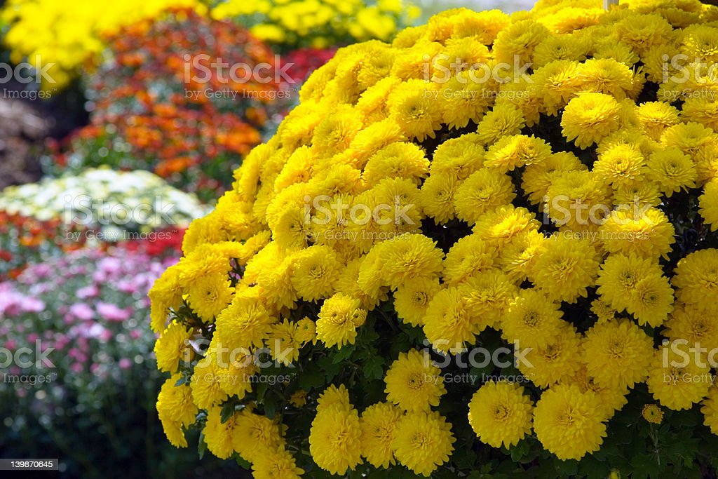 Sunburst of Mums stock photo