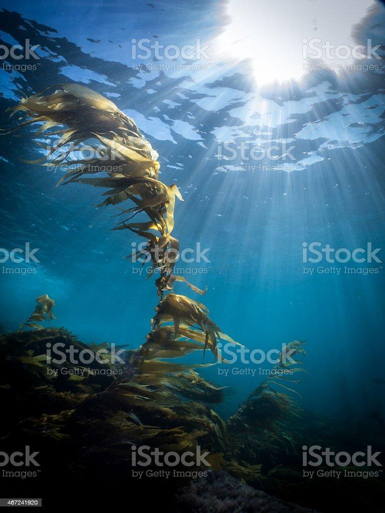 Sunburst Reef Kelp Laguna Beach Underwater stock photo