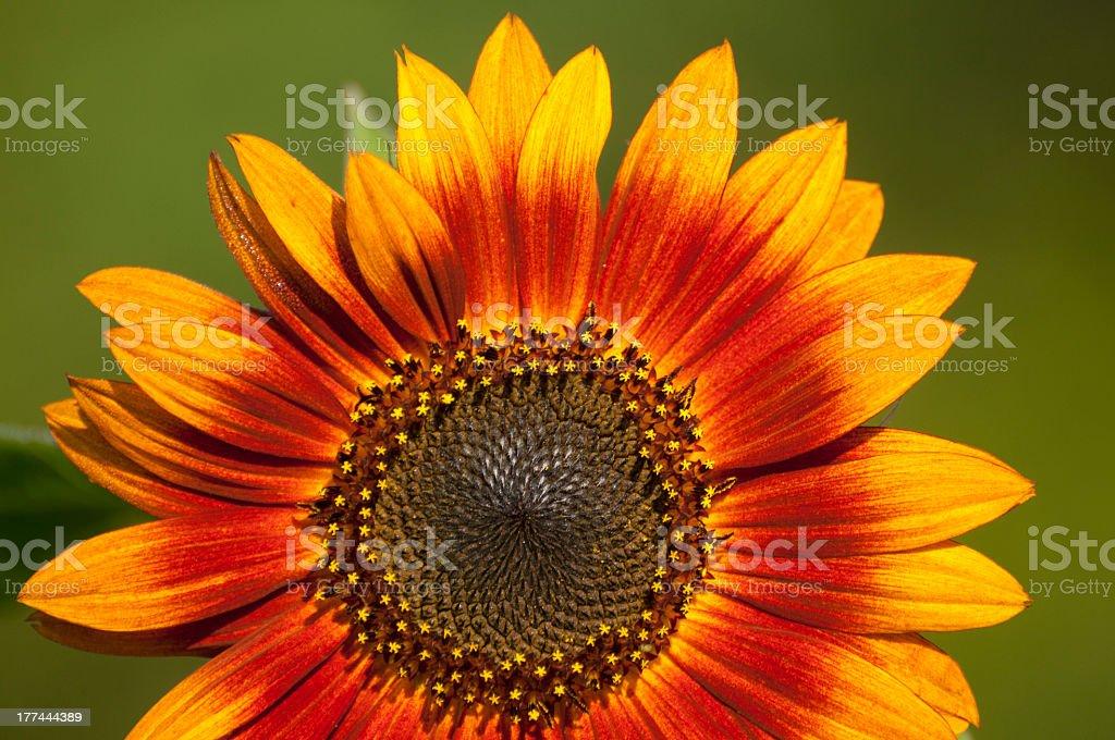 Sunburst Sunflower royalty-free stock photo