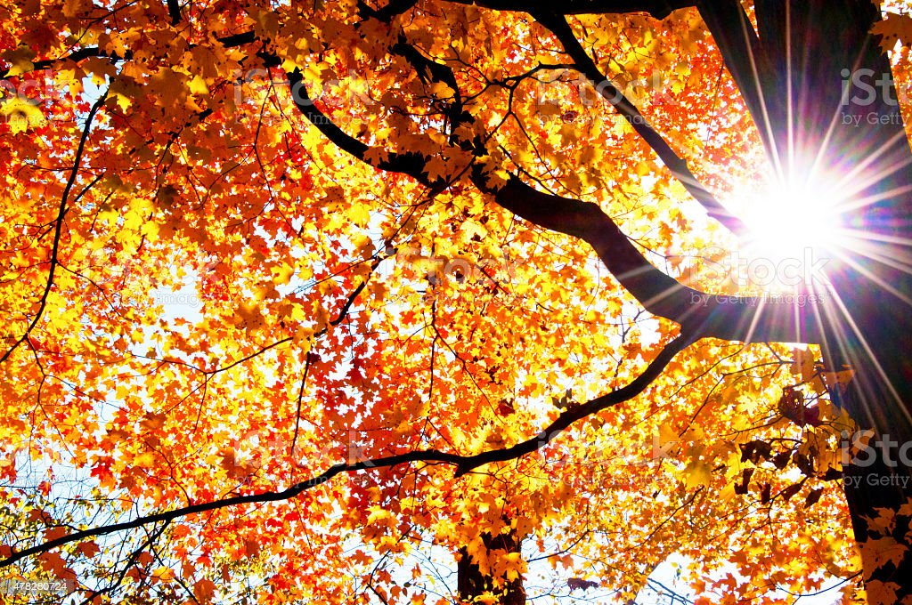 Sunburst through a tree with brilliant orange leaves. stock photo