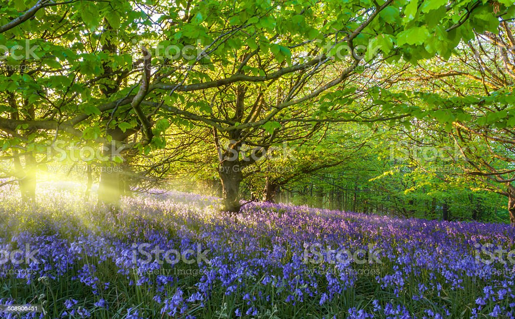 Sunburst through trees illuminating bluebells stock photo
