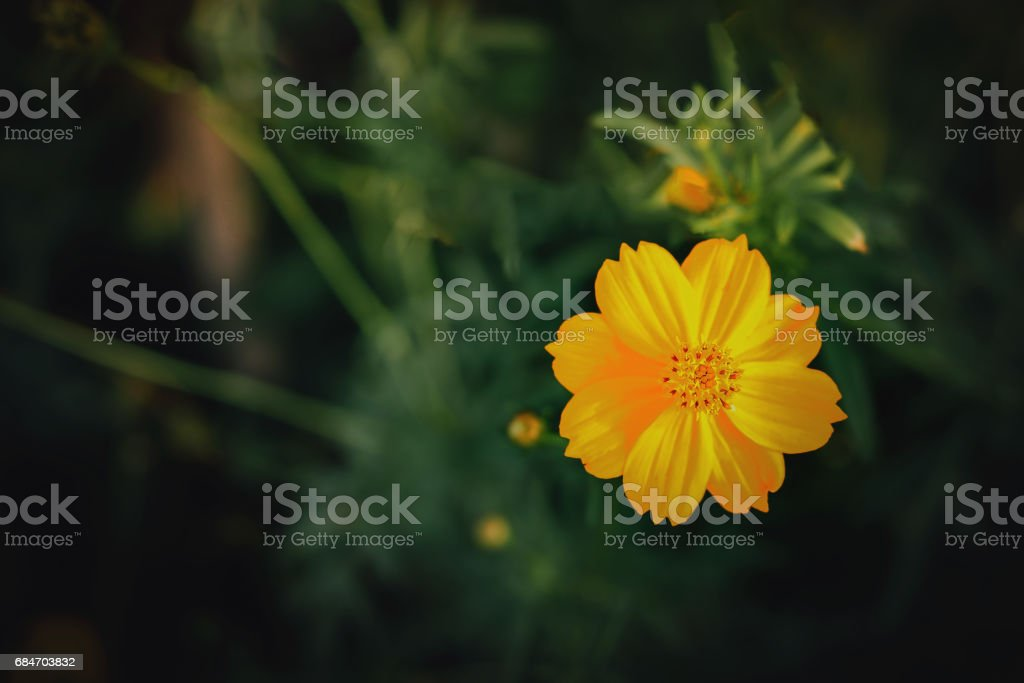 sunchoke flowers, Spring background with beautiful yellow flowers stock photo
