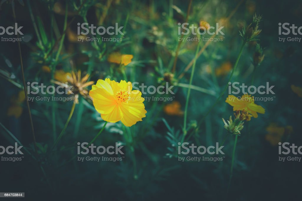 sunchoke flowers, Spring background with beautiful yellow flowers with vintage filter stock photo