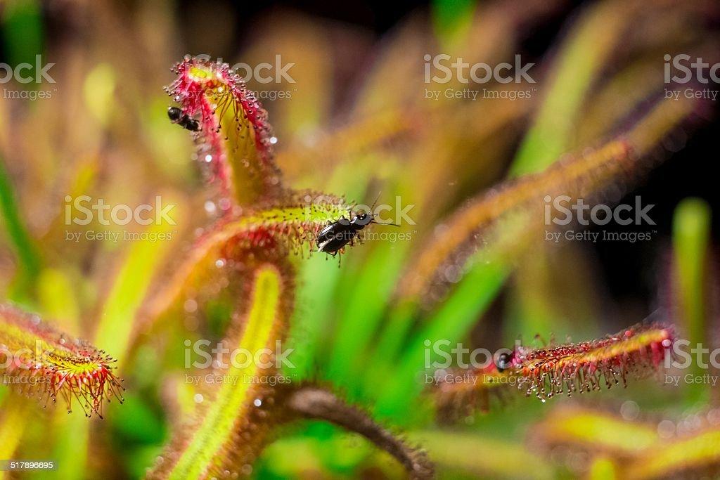 sundew catch black bugs stock photo