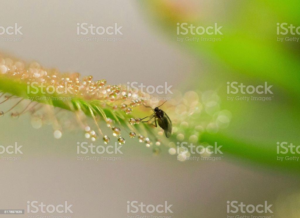 sundew catch little fly stock photo