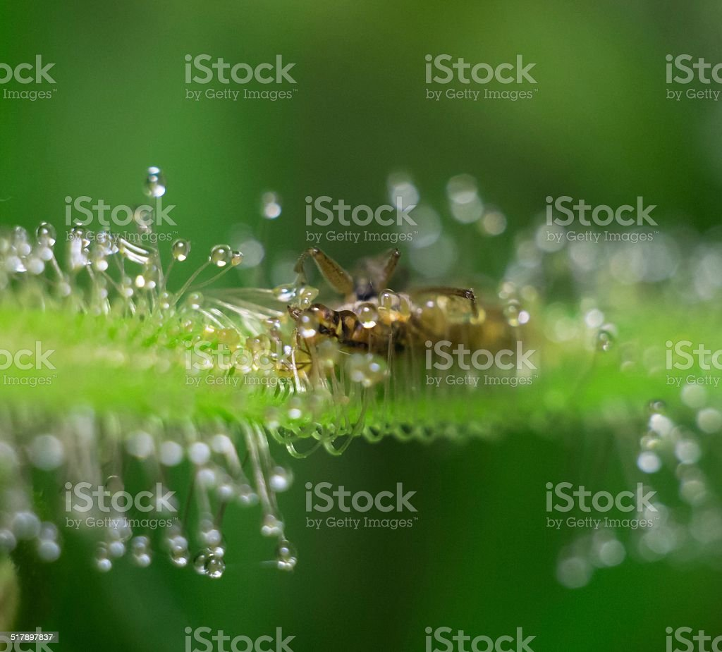sundew - consumation of bedbug stock photo