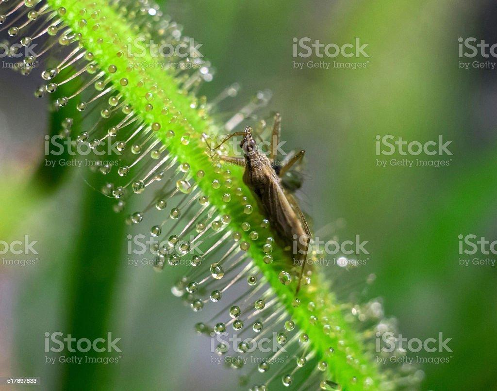 sundew drosera alba get bedbug stock photo