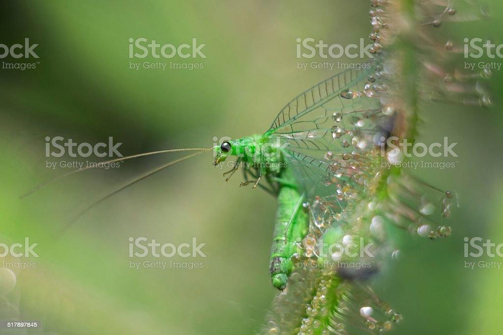 sundew get and consume Chrysopidae stock photo