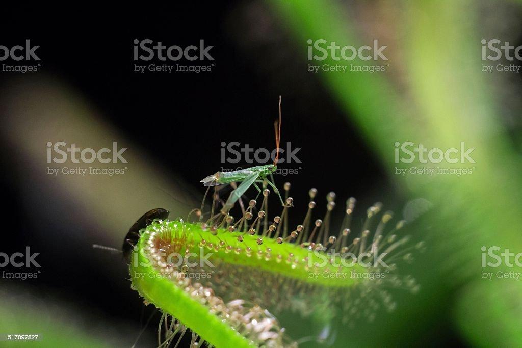 sundew get green-fly stock photo