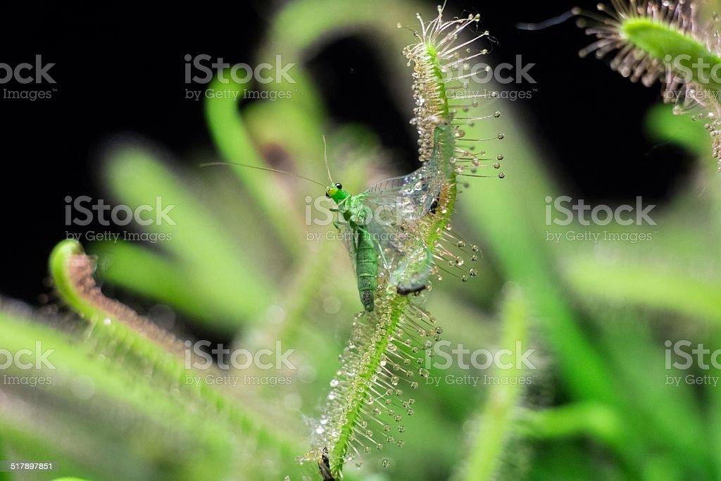 sundew just get Chrysopidae stock photo