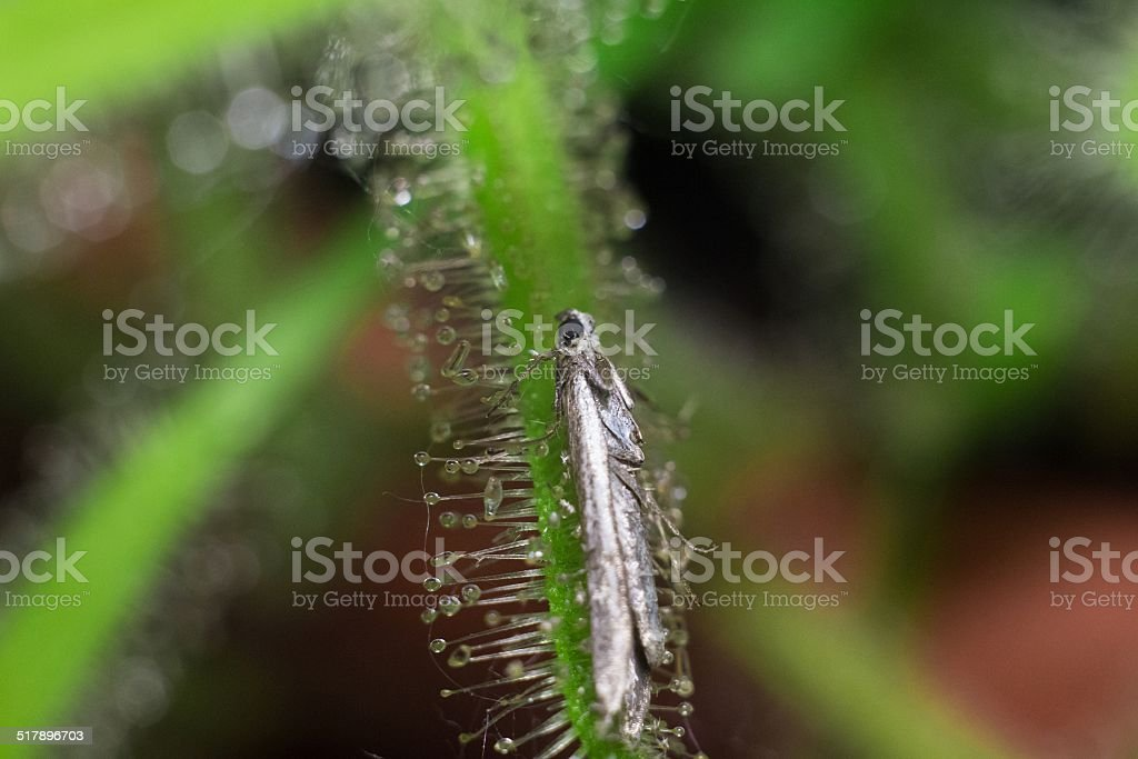 sundew killing moth stock photo