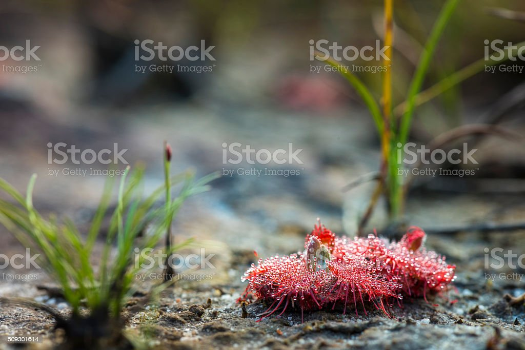 Sundew (Drosera) lives on swamps insects sticky leaves stock photo